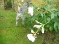 Missä koiraluuraa sateessa 015