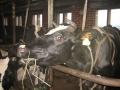 lehmat