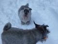 Koirat kotona, lumessa ja Niksu 011
