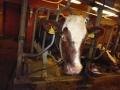 Kukka-lehmä ja reklamaatio 002